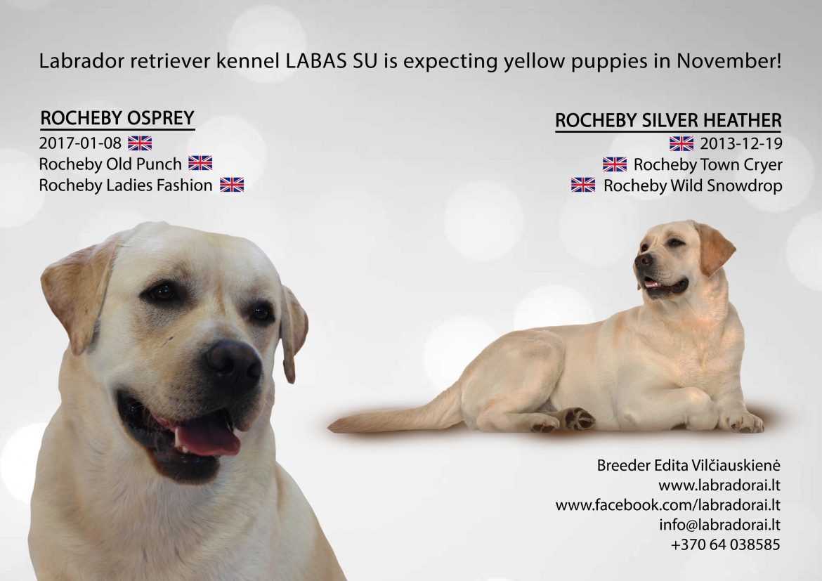 Osprey Rocheby and Rocheby Silver Heather Labradors expecting puppies
