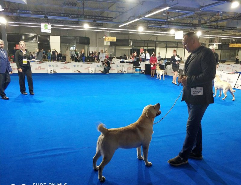 Our labrador Osprey Rocheby at European Dog Show Warsaw